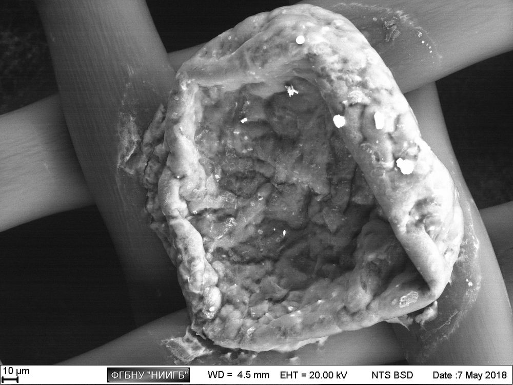 Scaffold with mesenchymal stem cells (MMSC) of a human deciduous tooth pulp on a nylon filter (BioREE-B set, SEM image, BSE mode)
